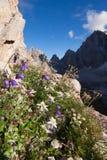 Flor alpina de Edelweiss Imagem de Stock Royalty Free