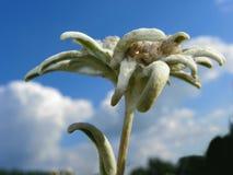 Flor alpina de Edelweiss imagens de stock