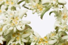 Flor alpina dos edelvais que forma um coração Imagens de Stock