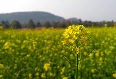 Flor alta derecha de la mostaza Foto de archivo libre de regalías