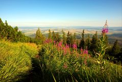 Flor alta rosada en prado de la montaña Foto de archivo