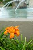 Flor amabile do Lilium alaranjado Imagens de Stock