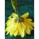 Flor amarela 08 Imagem de Stock Royalty Free