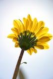 Flor amarela imagem de stock royalty free