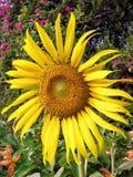 Flor amarela Foto de Stock Royalty Free