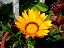 Flor amarela Imagens de Stock Royalty Free