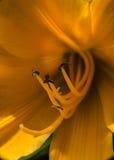 Flor amarela Fotos de Stock Royalty Free