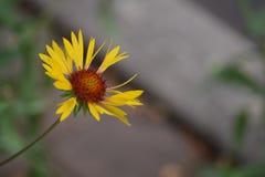 Flor amarela Foto de Stock