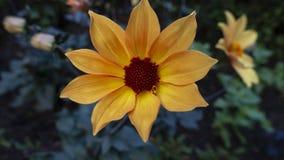 Flor amarela alaranjada em uma cama de flor em um parque e em um jardim urbanos foto de stock royalty free