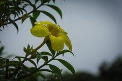 Flor amarela após a chuva no jardim de Kochi foto de stock royalty free
