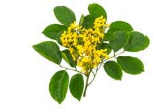 Flor amarela ascendente fechado do indi burmese do jacarandá ou do Pterocarpus Fotografia de Stock