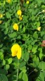 Flor amarela bonita Imagens de Stock Royalty Free