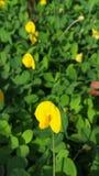 Flor amarela bonita foto de stock royalty free