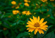 Flor amarela bonita Imagem de Stock