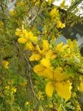 flor amarela bonita da cor da foto natural cingalesa Imagem de Stock Royalty Free