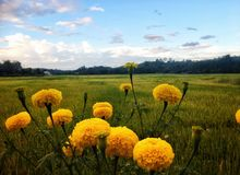 Flor amarela bonita da flor do cravo-de-defunto no campo do arroz sob o céu azul fotos de stock