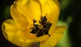 Flor amarela bonita da tulipa Tulipa da flor da mola Imagem de Stock Royalty Free
