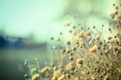 Flor amarela bonita do crisântemo no campo imagem de stock