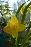 Flor amarela bonita do hemerocallis Jardim urbano pequeno no balcão no verão fotos de stock royalty free