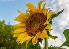 Flor amarela bonita do sol contra o céu azul e a nuvem branca na natureza foto de stock royalty free