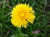 Flor amarela bonita e fundo verde da natureza Fotos de Stock