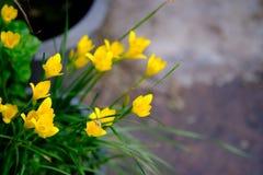 Flor amarela bonita em Tailândia Ásia Fotos de Stock Royalty Free