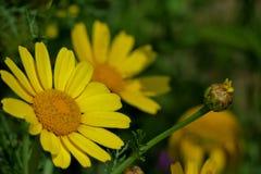 Flor amarela bonita em um fim do campo acima imagem de stock
