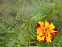 Flor amarela bonita marigold Flores para o jardim imagens de stock royalty free