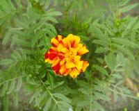 Flor amarela bonita marigold Flores para o jardim foto de stock royalty free