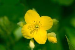 Flor amarela bonita na natureza Fotografia de Stock