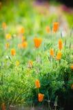 Flor amarela bonita no jardim Foto de Stock Royalty Free