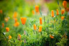 Flor amarela bonita no jardim na montanha do angkhang, chiang miliampère Fotografia de Stock Royalty Free