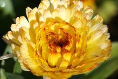 Flor amarela bonita no norte de Tailândia fotografia de stock