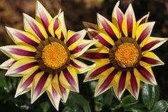 Flor amarela bonita no norte de Tailândia foto de stock