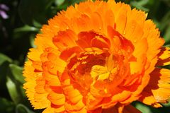 Flor amarela bonita no norte de Tailândia imagem de stock royalty free