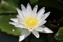 A flor amarela branca dos lótus, lírio de água floresce na lagoa orgânica verde no parque nacional, decoração home do projeto de  Fotografia de Stock Royalty Free