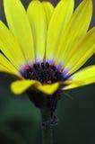 Flor amarela brilhante fotos de stock royalty free