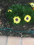 Flor amarela brilhante Foto de Stock Royalty Free