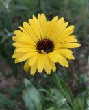 Flor amarela brilhante do Calendula com moscas fotos de stock