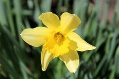 A flor amarela brilhante do narciso ou do narciso amarelo no verde sae do fundo Imagem de Stock Royalty Free