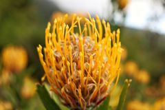 Flor amarela brilhante do protea imagens de stock royalty free