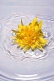 Flor amarela brilhante na água Fotos de Stock