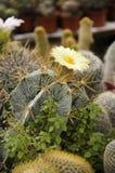 Flor amarela, cacto. fotos de stock royalty free