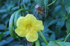 Flor amarela com aranha fotos de stock royalty free