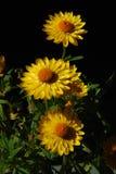Flor amarela com centro alaranjado Fotografia de Stock