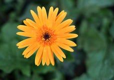 Flor amarela com foco seletivo Foto de Stock