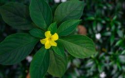 Flor amarela com folhas verdes Imagem de Stock Royalty Free