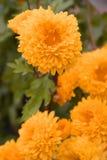 Flor amarela com fundo do borrão Imagens de Stock