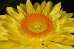 Flor amarela com gota da água fotografia de stock royalty free