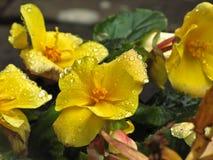Flor amarela com gotas Imagens de Stock Royalty Free